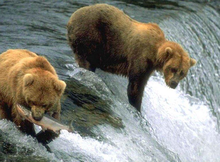 Balık tutan ayı