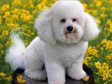 Beyaz süs köpeği