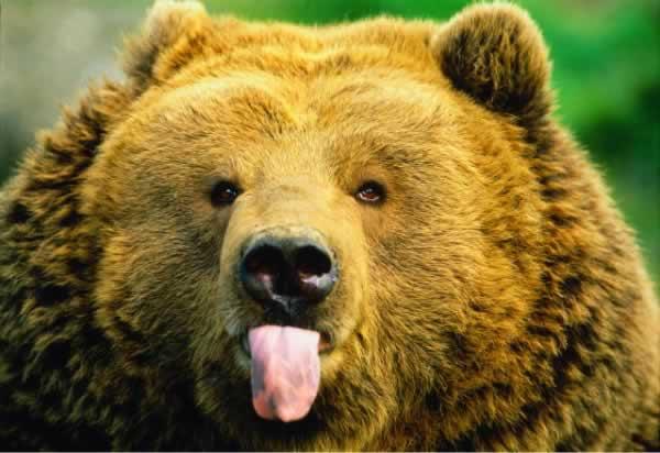 Dilini çıkaran  ayı