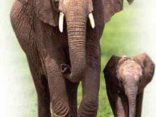 Fil anne ve yavru fil
