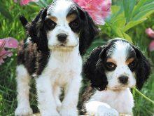 İkili siyah beyaz köpekler