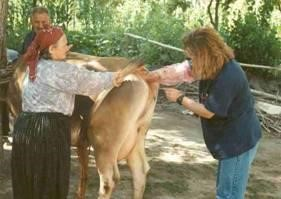 ineklerde tohumlama