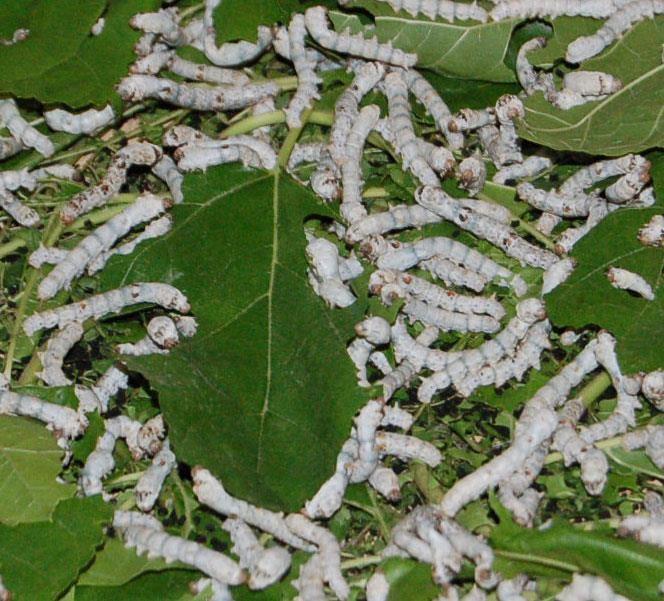 ipek böceği