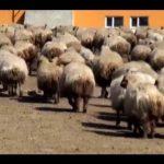 ivesi koyunu