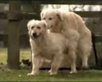 köpeklerde-çiftleşme_1
