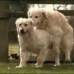 köpeklerde-çiftleşme_1.jpg