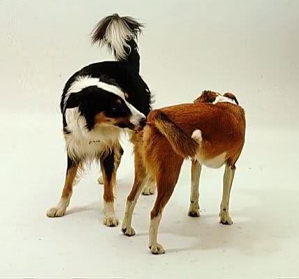 köpeklerde-çiftleşme_3