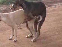 köpeklerde çiftleşme
