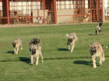 sevimli kangal yavruları