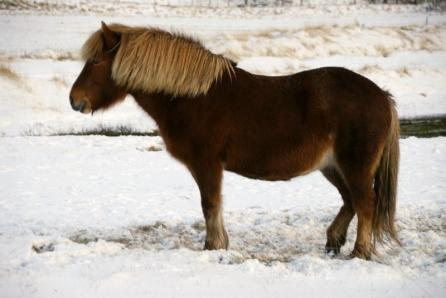 Karda Midilli Atı