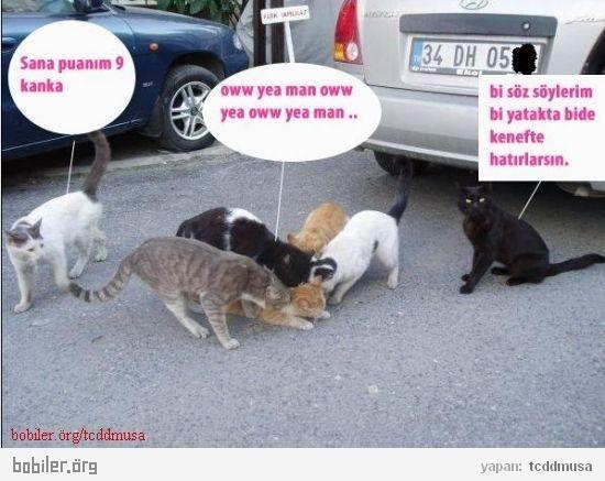 kedilerde çiftleşme