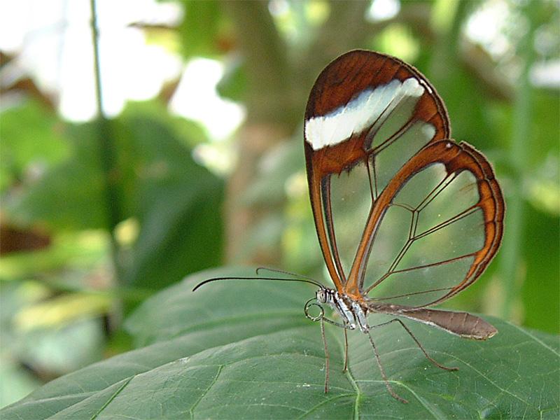 Kelebekler vadisi kelebeği