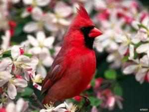 Kırmızı kuş resmi