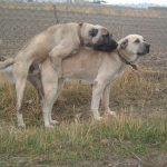 Köpeklerde Çitleşme Videoları ve Bilgileri izle