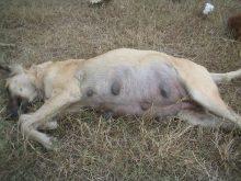 Köpeklerde Hamilelik Süresi