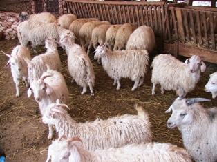 Koyun Keçi Desteklemesi 2011