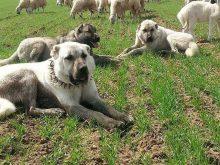 çoban köpeği kangal