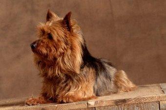Avustralya Terrier