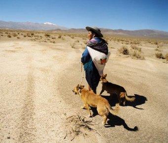 Amerikan Yerli Köpeği