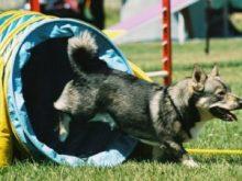 İsveç Çoban Köpeği