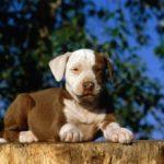Amerikan Staffordshire Terrier