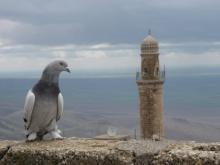 Mardin Güvercinleri Özellikleri