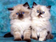 mavi gozlu kedi resimleri