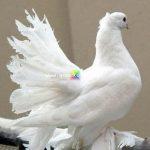 paçalı güvercin resimleri