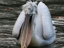 Pelikan – Pelecanus