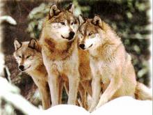 Saldırgan kurt köpekleri