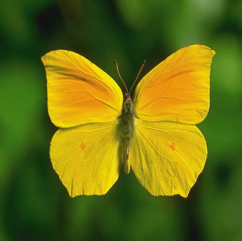 sarı kelebek