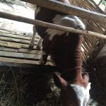 Simental Cinsi inek