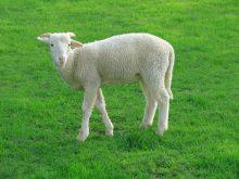 Sevimli koyun