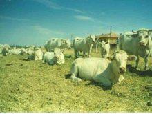 türkiyedeki sığır ırkları