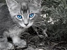 Siyah beyaz kedi resmi