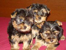 Tatlı yavru köpekler