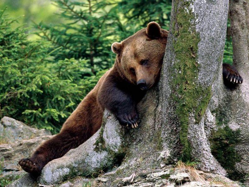 Üzgün ayı