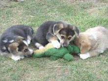 Saldırgan Kurt köpekleri resimleri