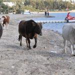 yerli inekler