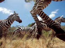 Zebraların göç resmi